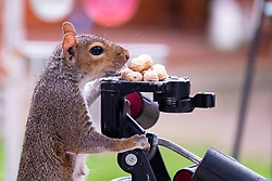 A Grey Squirrel (Scientific name Sciurus Carolinensison) perches tentatively on a camera tripod during a brief visit to a small Sheffield suburban garden.<br /> <br /> 25th September 2021<br /> <br /> www.pauldaviddrabble.co.uk<br /> All Images Copyright Paul David Drabble -<br /> All rights Reserved -<br /> Moral Rights Asserted -