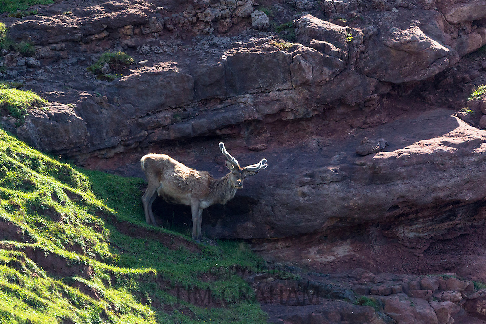 Male red deer stag, Cervus elaphus, balances on precipice of cliff on the remote Isle of Rhum - Rum - part of the Inner Hebrides and the Western Isles of Scotland