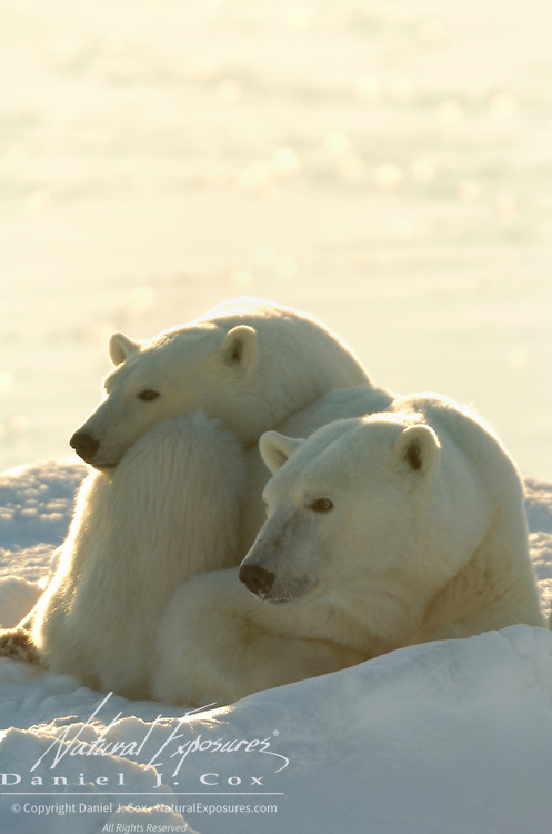 Polar Bear mother and cub resting during the winter. Churchill, Manitoba, Canada