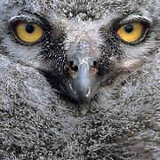 Snowy Owl (Nyctea scandiaca) chick. Barrow, Alaska