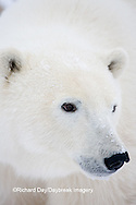 01874-108.02 Polar Bear (Ursus maritimus)  Churchill, MB Canada