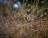 White-throated Sparrow. Image taken with a Nikon D3 camera and 70-200 mm f/2.8 lens (ISO 200, 200 mm, f/2.8 1/640 sec).