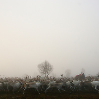 Reindeer race through the morning mist evading the lassos of Sami herdsman in Hirvas Salmi, Finland. After a three week span in which 2000 reindeer are brought down from mountains, the Hirvas Salmi herdsmen, comprising 100 owners, gather their calves for the corral and then slaughter.