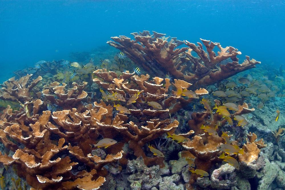 A healthy stand of Elkhorn coral at Jardines de la Reina in Cuba.
