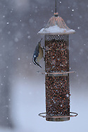 Red-Breasted Nuthatch eating peanuts at a bird feeder in upstate NY while it is snowing.