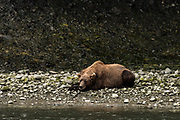 A Brown bear rests along the pebble shore of the lower river at the McNeil River State Game Sanctuary on the Kenai Peninsula, Alaska. The remote site is accessed only with a special permit and is the world's largest seasonal population of brown bears in their natural environment.