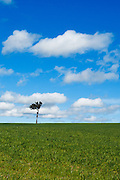 Single tree at top of pasture field under blue sky with cumulus clouds near Yass, New South Wales, Australia. <br />
