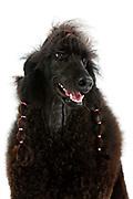 Ladies Kennel Association<br /> 2008 Championships<br /> Standard poodle (Sydoney)<br /> Owner Hazel Miller