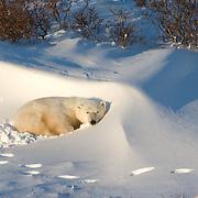Polar Bear (Ursus maritimus) an individual at  Cape Churchill, Manitoba resting in a snow drift in the willows at Cape Churchill, Manitoba