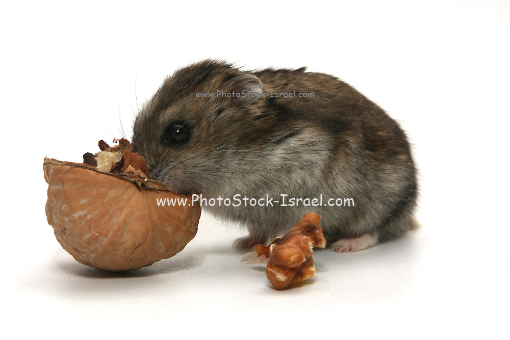Cutout of a hamster eating a walnut out of the shell on white background