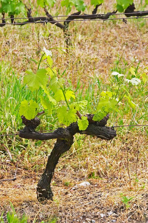 cordon double training vineyard chateau curson dom pochon crozes hermitage rhone france
