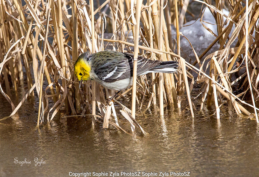 Hermit Warbler Insect Watch