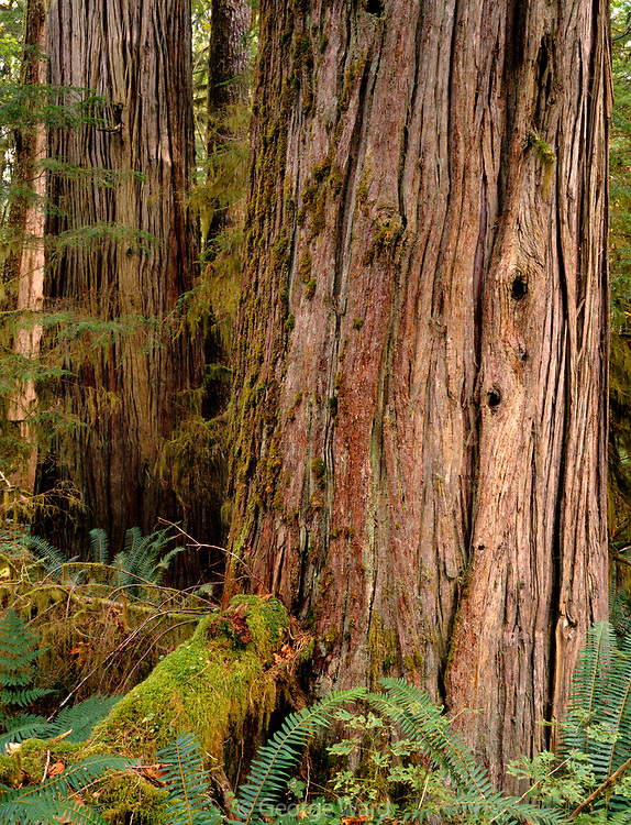 Old-growth Western Red-Cedar,Mount Baker-Snoqualmie National Forest, Washington