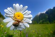 Ground Crab Spider (Xysticus cristatus) on a marguerite. Mountain pasture in Martei in East Tyrol, Austria. | Braune Krabbenspinne (Xysticus cristatus) auf einer Margerite. Almwiese, Matrei in Osttirol, Österreich.