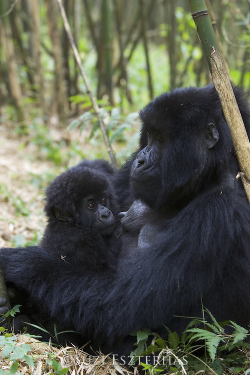 Mountain Gorilla<br /> Gorilla gorilla beringei<br /> Mother and 10 mos old infant in bamboo forest<br /> Parc National des Volcans, Rwanda