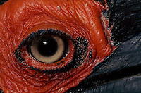 A close view of the eye of a ground hornbill.