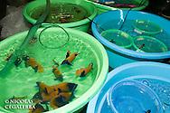 Pomacanthus navarchus en acclimatation a la suite du voyage entre les iles Banggais et Manado<br /> <br /> Poisson Ange Amiral, Pomacanthus navarchus, Manadoo, Sulawesi, Indonésie - Mission Banggai Cardinal Fish, Mai 2008, Act for Nature - Musee oceanographique de Monaco