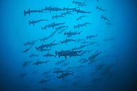 Schooling Scalloped Hammerhead Sharks cruising above<br /> <br /> <br /> Shot at Cocos Island, Costa Rica