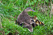 Female mallard duck with 14 newly hatched ducklings, Anas platyrhynchos, with some under her feathers for warmth by a stream in Swinbrook, the Cotswolds, UK