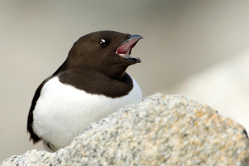 Little auk / Alle alle<br /> Fuglesangen<br /> Svalbard<br /> Norway
