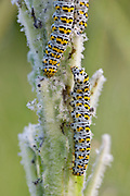 Mullein Shargacucullia verbasci moth caterpillars feeding on wild poppy plant in English country garden, UK