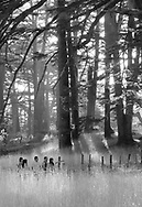 The Cedars, Lebanon - September 9, 2010: A group of five people enjoy the beauty of an old growth cedar grove near the town of Bcharre. Late afternoon sunlight is streaming through the trees, some of which are more than a thousand years old.