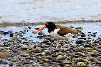 American Oystercatcher in Chile
