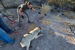 Biologists releasing female Mexican wolf back into pen after medical procedure at wolf management facility, Ladder Ranch, west of Truth or Consequences, New Mexico, USA.