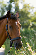 Bay horse, Cleveland Bay cross Thoroughbred, Oxfordshire, England, United Kingdom