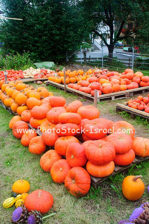 Austria, Tyrol, fall pumpkins and squash.