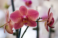 Soft pink speckled phalaenopsis orchid flowers
