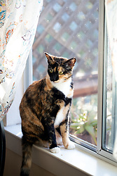 Zelda the cat looks out the back window of her Oakland, Calif. home, Monday, April 13, 2020. (Photo by D. Ross Cameron)