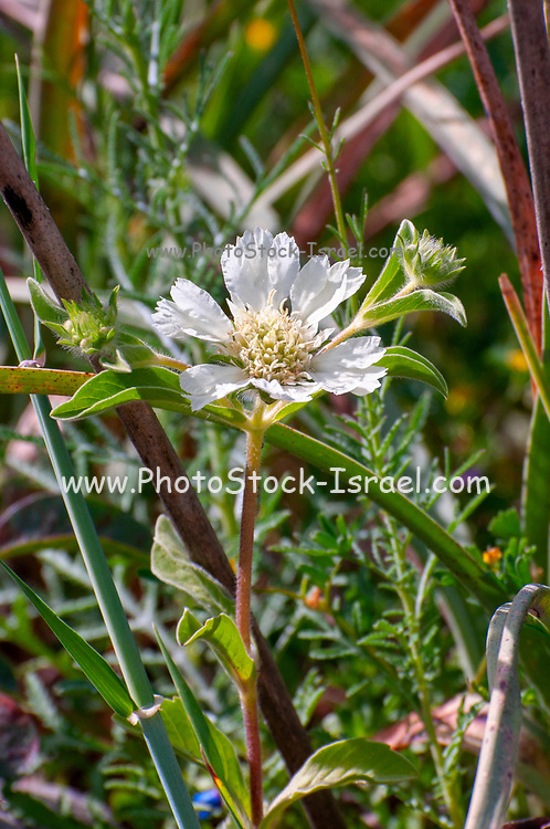 Scabiosa ochroleuca, commonly called cream pincushions or cream scabious, is a species of scabious with creamy yellow flower heads. It is native to Europe and western Asia Photographed in Israel in March
