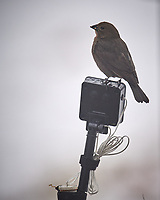 Brown-headed Cowbird. Image taken with a Nikon D5 camera and 600 mm f/4 VRII lens (ISO 250, 600 mm, f/4, 1/1250 sec).