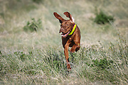 SHOT 5/9/20 8:54:38 AM - Various pointing breeds compete in the Vizsla Club of Colorado Licensed Hunt Test Premium at the Rocky Mountain Sporting Dog Club Grounds in Keenesburg, Co. (Photo by Marc Piscotty / © 2020)
