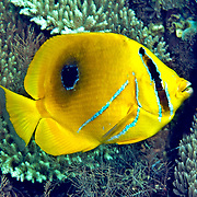 Eclipse Butterflyfish inhabit reefs. Picture taken Lembeh Straits, Sulawesi, Indonesia.