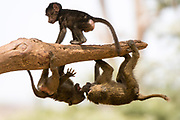 Olive baboons, Papio anubis, playing on a tree branch, Kalama Conservancy, Samburu, Kenya.