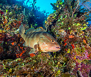 The Nassau grouper