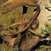 Barren Ground Caribou (Rangifer arcticus) Denali National Park. Alaska