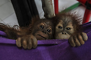 Nov. 23, 2015 - Batu Mbelin, North Sumatra, Indonesia - <br /> <br /> Baby Orangutans Recovered from Wildlife Traffickers<br /> <br /> Baby orangutans wait for a medical checkup at Sumatran Orangutan Conservation rehabilitation centre. Three baby Sumatran orangutans were recovered recently after police arrested wildlife traffickers who smuggled them out of Aceh province. <br /> ©Tanto H/Exclusivepix Media