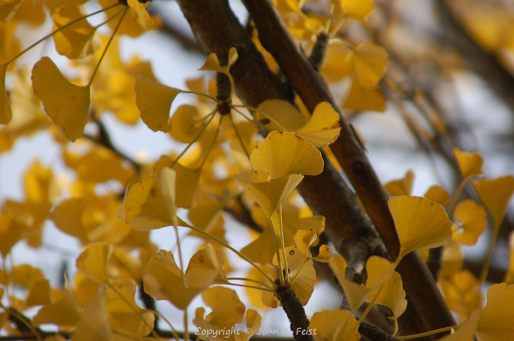 Yellow leaves of autumn.  Hillsborough, NJ