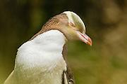 Yellow-eyed Penguin, endangered, New Zealand