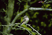Spotted Flycatcher bird, with a wasp in its beak, on a branch in Oxfordshire, England