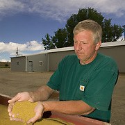 Vince Holtz sifts non GMO alfalfa seed through his fingers. MR