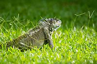 Green Iguana, Iguana iguana, on a lawn at Laguna Lodge, Tortuguero National Park, Costa Rica