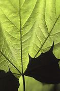 Spring, Pennsylvania, back lighted maple leaf