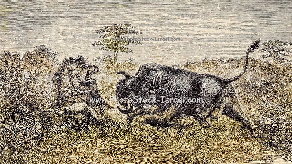 Machine colourised Buffalo Cow defending her Calf From the Book ' Missionary travels and researches in South Africa ' including Sixteen Years Residence in the Interior of Africa. by Dr. David Livingstone Published in New York by Harper & Brothers 1858