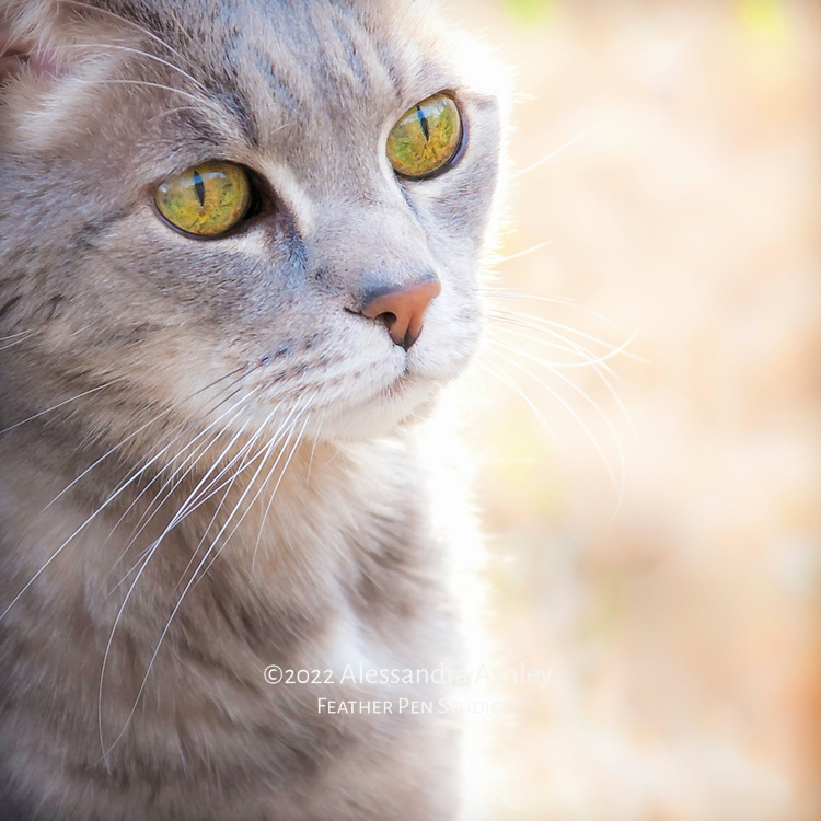 Gray short-haired, green-eyed adult male cat with halo from evening sunlight.