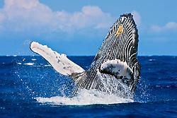 humpback whale, Megaptera novaeangliae, breaching, Kohala Coast, Big Island, Hawaii, USA, Pacific Ocean
