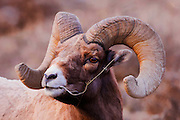Artistic effects applied to a portrait photograph of a bighorn ram near Yellowstone National Park.